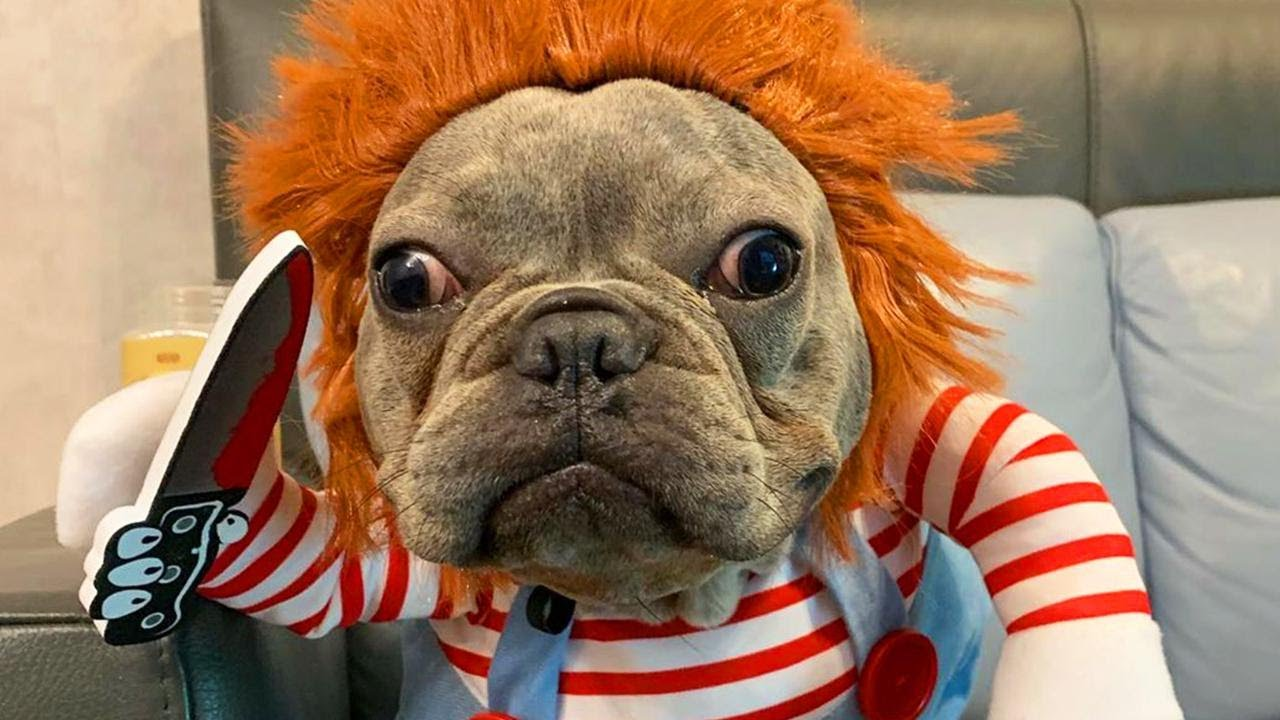A French Bulldog, in a Chucky Costume . . . Is Funnier Than You Think -  106.3 The Fox