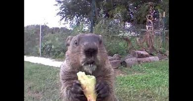 This Groundhog Must Be Related To The Honey Badger