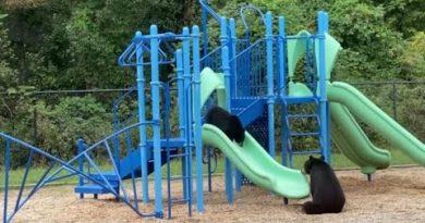A Bear Teaches Its Cub How to Go Down a Playground Slide